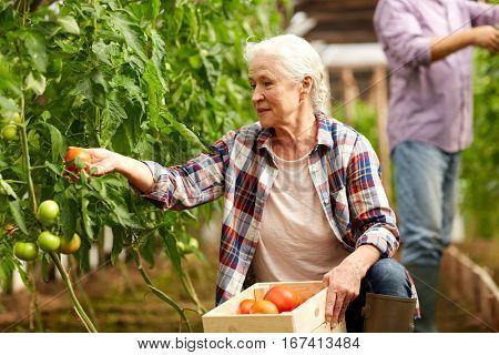 farming, gardening, old age and people concept - senior woman and man harvesting crop of tomatoes at greenhouse on farm