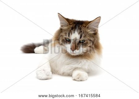 fluffy cat close up on a white background. horizontal photo.