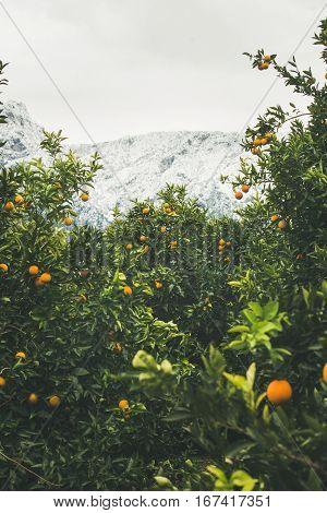 Orange trees with ripe oranges in mountain garden in Dim Cay district of Alanya on gloomy day, Antalya province, Mediterranean Turkey
