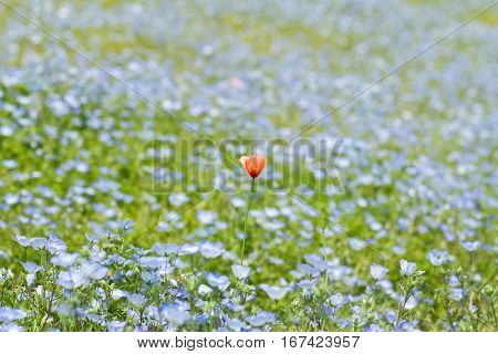 Field of Nemophila, or baby blue eyes (Nemophila menziesii, California bluebell), in soft light and shadow.