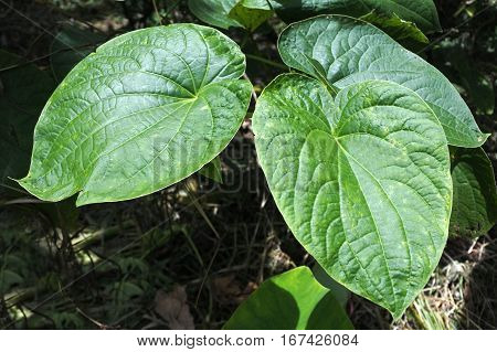 Piper methysticum plant leaves agriculture in Fiji. The roots of the plant are used to produce the Kava drink that consumed throughout the Pacific Ocean cultures of Polynesia for its sedating effects.