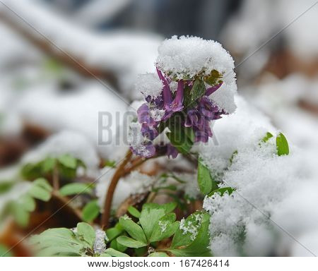 Violet corydalis flower covered with snow. Illustration of spring treacherous weather.