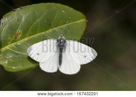 Green-veined white butterfly Pieris napi basking on leaf with wings open