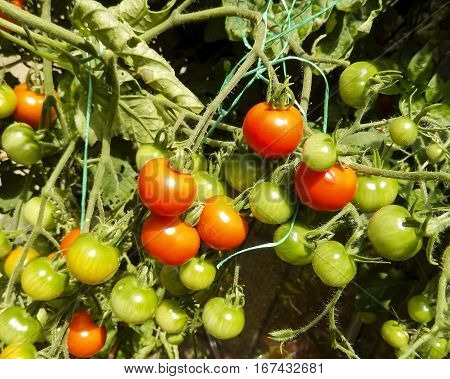 Red and green cherry tomatoes on a truss tied up in a garden