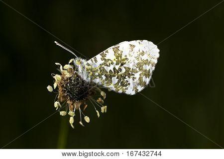 Male Orange Tip Butterfly Anthocharis cardamines sitting on Ribwort Plantain flowerhead