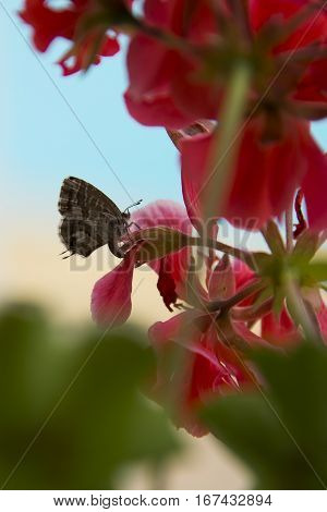 Geranium Bronze butterfly Cacyreus marshalli egg-laying on a red Geranium flower Algarve Portugal
