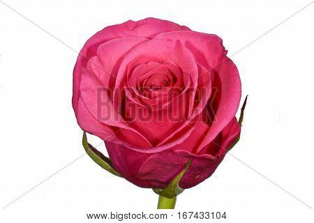 Single dusky pink rose flower head isolated on plain white background