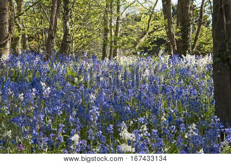 Carpet of bluebells among trees in springtime with rays of sunshine on the flowers