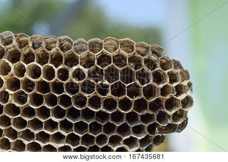 Wasp nest with honey. Wasp  a honey