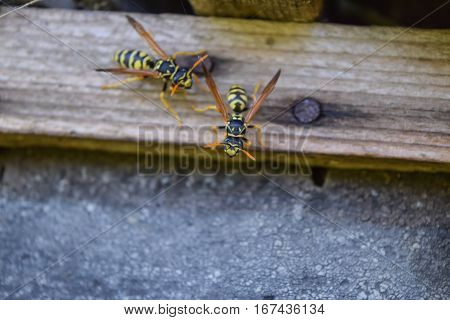 Wasps Polist. The Nest Of A Family Of Wasps Which Is Taken A Clo