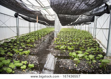 A modern and an effective way of plantation is shown in the picture. A black color cover can also be seen on the ceiling of the green house.