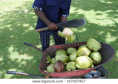 Indigenous Fijian Man Man Peels Coconut