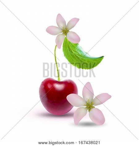 Cherry blossom with leaf and cherry flowers isolated on white background with clipping path. Two cherry flowers isolated on white background with clipping path.