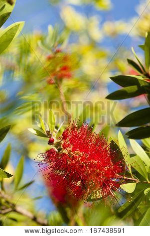 Flowers of Melaleuca viminalis weeping bottlebrush creek bottlebrus plant in the myrtle family Myrtaceae endemic to New South Wales Queensland and Western Australia.