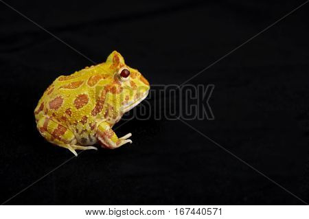 Argentine Horned Frog (Ceratophrys ornata) also known as the Argentine wide-mouthed frog or ornate pacman frog from the grasslands of Argentina Uruguay and Brazil. Isolated on black. poster