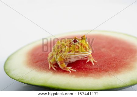 Argentine Horned Frog (Ceratophrys ornata) is on watermelon also known as the Argentine wide-mouthed frog or ornate pacman frog from the grasslands of Argentina Uruguay and Brazil.