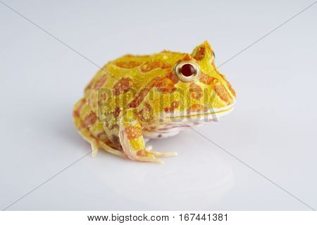 Argentine Horned Frog (Ceratophrys ornata) also known as the Argentine wide-mouthed frog or ornate pacman frog from the grasslands of Argentina Uruguay and Brazil. Isolated on white.