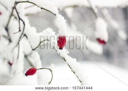 Red rosehip berries on bush in snow. Rosa canina commonly known as dog-rose