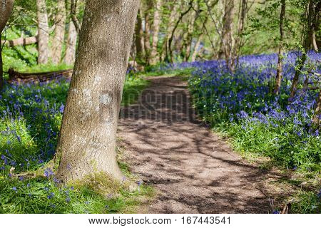 Bluebells in the woods East Sussex England, selective focus