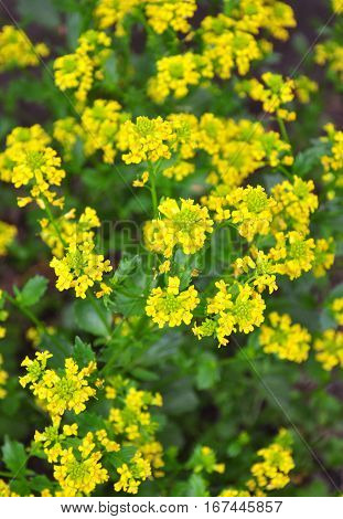 Buttercress (barbarea Vulgaris)