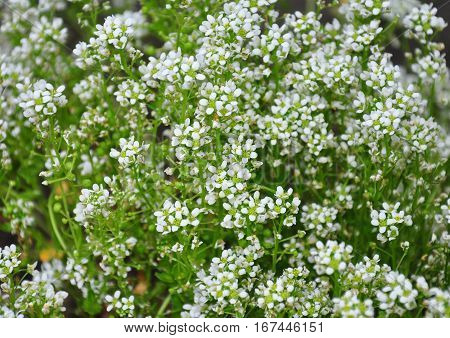 Common Scurvygrass (cochlearia Officinalis)