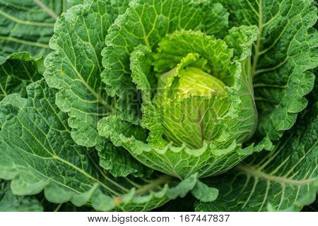 Closed-up Savoy Cabbage. Low Depth Of Field.