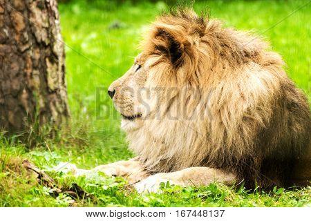 Lion male. Panthera leo. Wild animal and wildlife