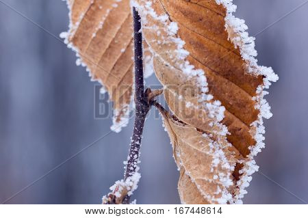 dry brown oak leaves covered with hoarfrost on a grey background