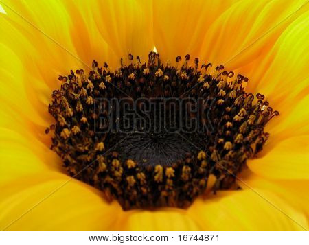 centre of sunny sunflower