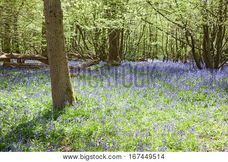 Bluebells in the woods East Sussex England selective focus on the closest tree on the left