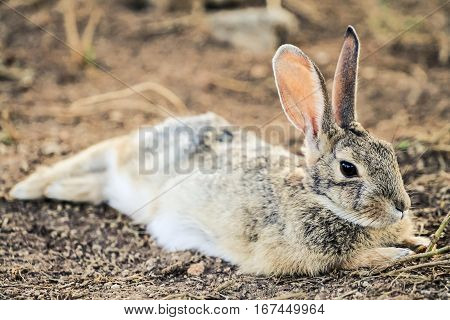 Baby jackrabbit laying down and resting on the ground