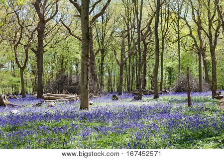 Bluebells in the woods East Sussex England selective focus on the tree with a stump on the left