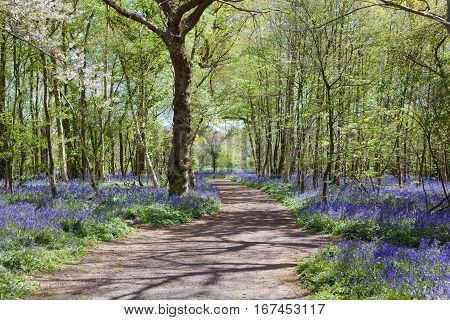 Bluebells in the woods East Sussex England selective focus on the biggest tree on the left