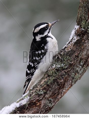 A female hairy woodpecker perching on a branch in winter.