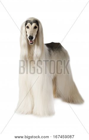 Afghan hound dog (eight years old) standing on white background