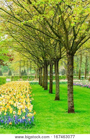 Colorful spring green lawn with daffodils and tree rows in garden Keukenhof, Holland