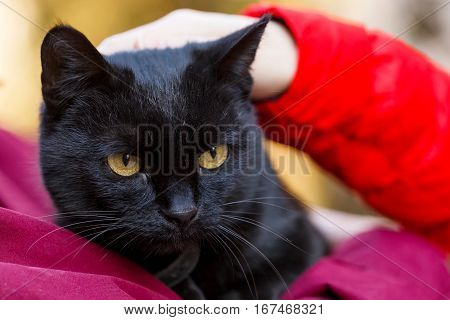 Portrait photo of beautiful friendly black cat