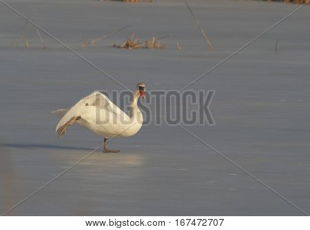 wild bird swan on lake in winter scenery