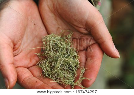 Close up shot, frozen and rough woman's hands gently holds pieces of green moss salvaged from ground in winter forest