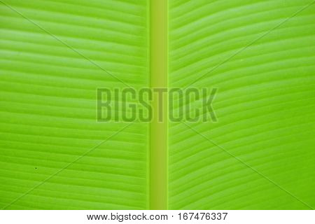 The surface of a banana tree leaf