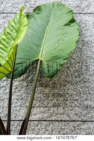 Giant alocasia leaves and grey concrete wall background