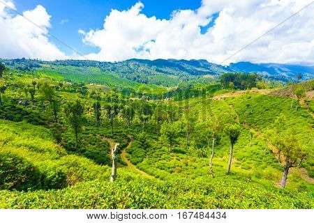 Haputale Hill Country Tea Plantation Scenic View H