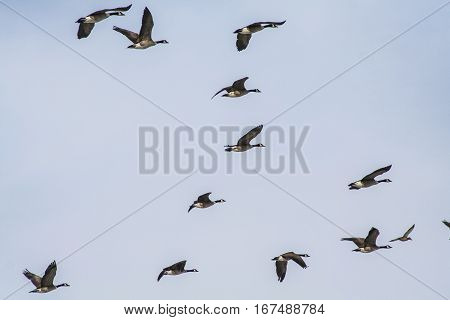 Canadian geese flying in the air with blue sky