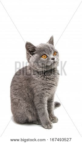 British gray kitten isolated on white background