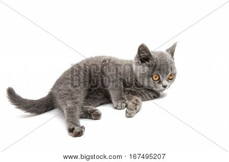 gray British kitten isolated on white background