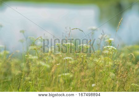 green grass meadow on white background summer landscape with grass in the meadow on a background of water
