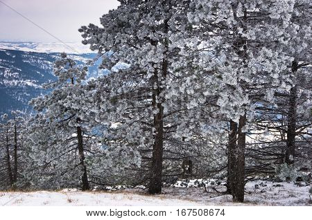 Conferious trees covered with snow in winter at mountain Kozomor, Serbia