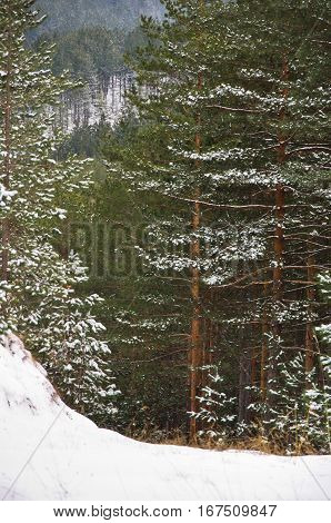 Detail of pine forest at mountain Kozomor in winter, Serbia