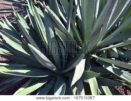 Agave succulent plant growing wild close up.