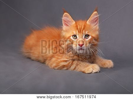 Adorable Red Solid Maine Coon Kitten Lying With Relaxing Look With Beautiful Brushes On The Ears On